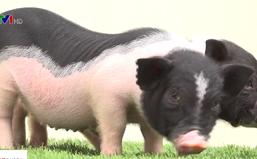 Xử lý nghiêm việc buôn bán trái phép lợn cảnh mini