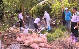 Hậu Giang: Tiêu hủy hàng chục con heo bị nhiễm bệnh heo tai xanh