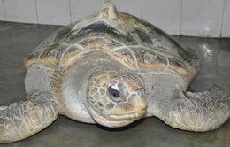TT - Huế: Ngư dân bắt được cá thể rùa biển quý hiếm