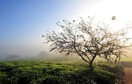Mộc Châu đẹp hút hồn trong sương sớm đầu đông