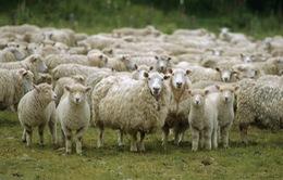 Phát Wi-Fi bằng… cừu