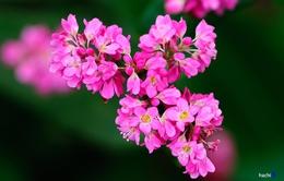 Sắc hồng quyến rũ trên những đồi tam giác mạch Si Ma Cai