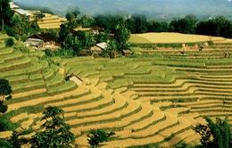 Mùa lúa dát vàng ở Hoàng Su Phì