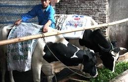 Lào Cai chủ động chống rét cho trâu bò