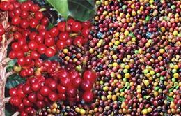 Cà phê Buôn Ma Thuột đăng ký bảo hộ chỉ dẫn địa lý tại EU