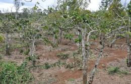 Đắk Lắk: Tái diễn nạn trộm cắp cà phê