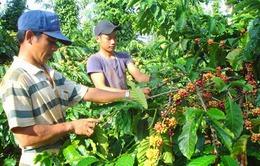 Nạn trộm cắp cà phê tại vườn gia tăng khi giá cao