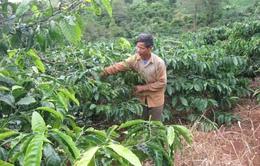 Tây Nguyên: Tái canh cà phê không đạt mục tiêu
