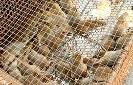 Nguy cơ lây lan bệnh dịch hạch từ việc mua bán chuột