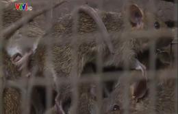 An Giang:Người dân chủ quan khi mua bán chuột