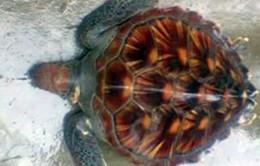 Hà Tĩnh thả rùa quý nặng 10kg về biển