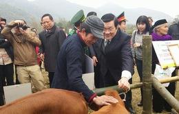 Chủ tịch nước dự lễ trao bò giống cho đồng bào nghèo tỉnh Cao Bằng