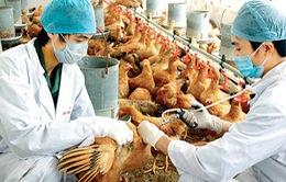 Khẩn cấp ngăn chặn dịch cúm A/H5N6