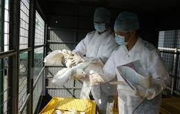 Hong Kong tiêu hủy 15.000 gia cầm do nghi nhiễm cúm