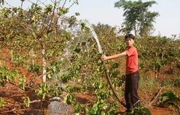"""Gia Lai: Nông dân """"trắng tay"""" vì mất mùa cà phê"""