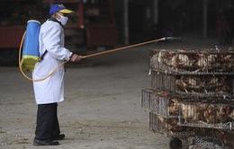Quảng Trị tiêu hủy 1.500 gia cầm nhiễm cúm H5N6