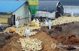 Nhật Bản tiêu hủy hàng vạn con gà sau đợt bùng phát dịch cúm gia cầm thứ 2