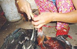 Rợn người cảnh nhồi nhét tăng trọng gia cầm, gia súc