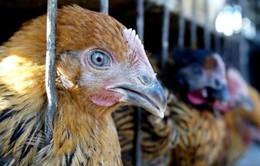 Hàn Quốc dừng nhập khẩu gia cầm của Mỹ do lo ngại về dịch bệnh