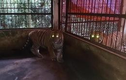 Hai cá thể hổ quý hiếm được bàn giao tại Nghệ An