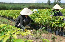 Kon Tum hỗ trợ đồng bào dân tộc thiểu số trồng cao su tiểu điền