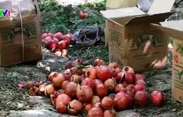 Cây lựu - Lối mở cho nền nông nghiệp Afghanistan