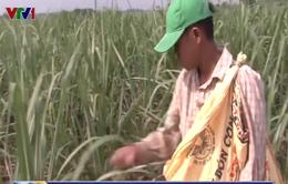 Bệnh trắng lá đe dọa vùng nguyên liệu mía miền Trung