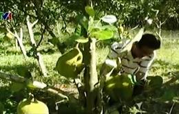 Bình Phước: Nông dân thiệt hại nặng vì mít rớt giá