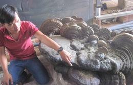Phát hiện nấm khổng lồ hơn 200kg ở Đăk Lăk