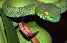 Bị rắn lục đuôi đỏ cắn, 9 ngườiở Thừa Thiên-Huế nhập viện
