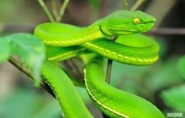 Nhiều trẻ ở Hà Nội bị rắn lục đuôi đỏ cắn nhập viện