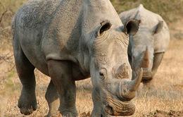 Nam Phi: Hơn 1.000 con tê giác bị giết để lấy sừng