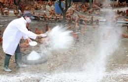 Quảng Ngãi tiêuhủy 12.000 con chim cútnhiễm cúm A/H5N6