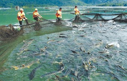 Nghề nuôi cá nước lạnh gặp khó