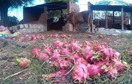 Thanh long rớt giá kỷ lục, nông dân Bình Thuận ngậm ngùi đổ bỏ