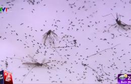 """""""Lạ đời"""" công việc của những người nuôi... muỗi"""