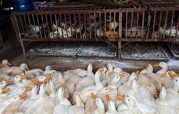 Ninh Thuận: Phát hiện ổ dịch cúm A/H5N1 trên gia cầm