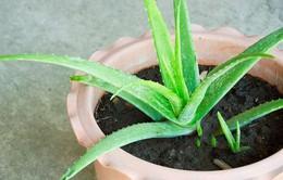 5 loại cây cảnh trong nhà có tác dụng làm thuốc