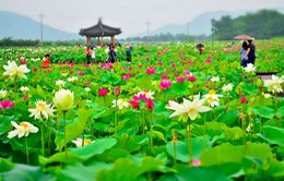 Những hồ sen đẹp ngất ngây ở Hàn Quốc