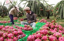 Bình Thuận: Giá thanh long tăng nhẹ trở lại