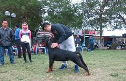 Dogshow Chó đẹp Rottweiler toàn miền Bắc sắp khởi tranh