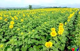 Cánh đồng hoa hướng dương rực rỡ tại Nghệ An