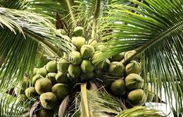 Dừa sẽ được phát triển thành sản phẩm quốc gia