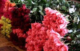 Hoa hồng Đà Lạt tăng giá gấp 5 lần trước Valentine