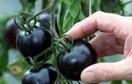 Cà chua đen Lâm Đồng giá cao vẫn hút khách