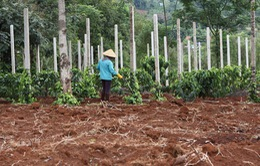 Lâm Đồng: Nhiều hộ dân đổ xô trồng tiêu