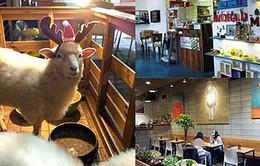 Hàn Quốc: Độc đáo với quán cà phê cừu