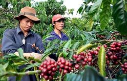 Sản lượng cà phê có thể giảm 20%