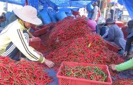 Giá ớt xuất khẩu tại Bình Định tăng mạnh