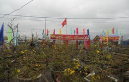 Bình Định: Làng mai vàng Nhơn Anthutiền tỷngày Tết